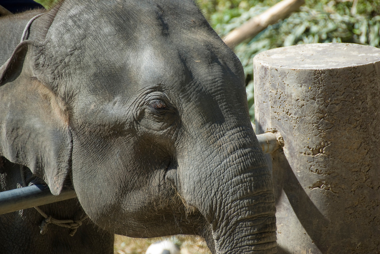 Close-up shot of an elephant at Chiang Mai, Thailand