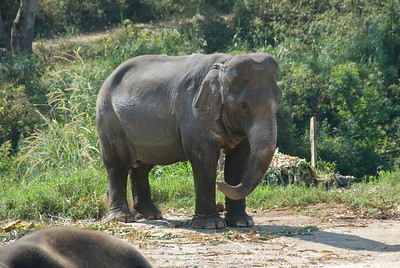 Isolated shot of an elephant in Chiang Mai, Thailand