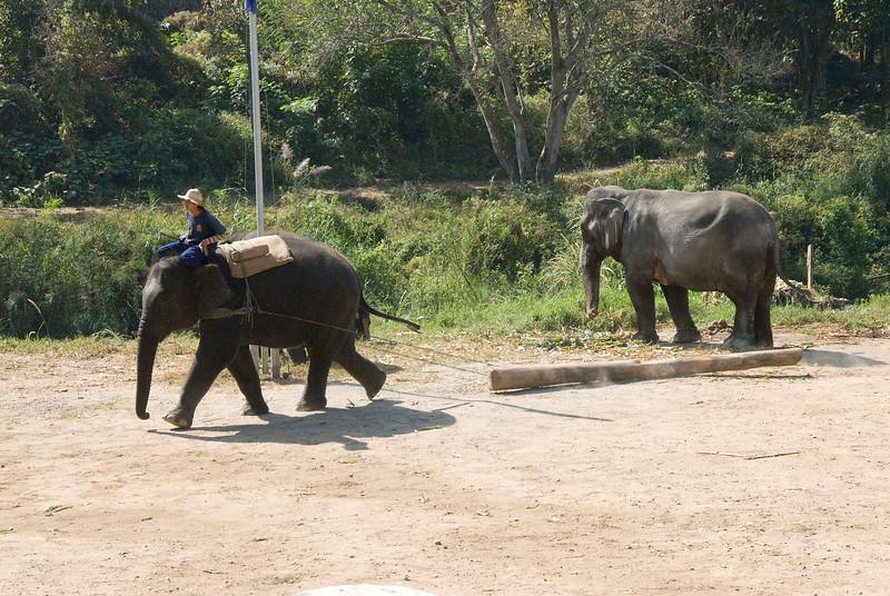 Elephant dragging a log at Chiang Mai, Thailand