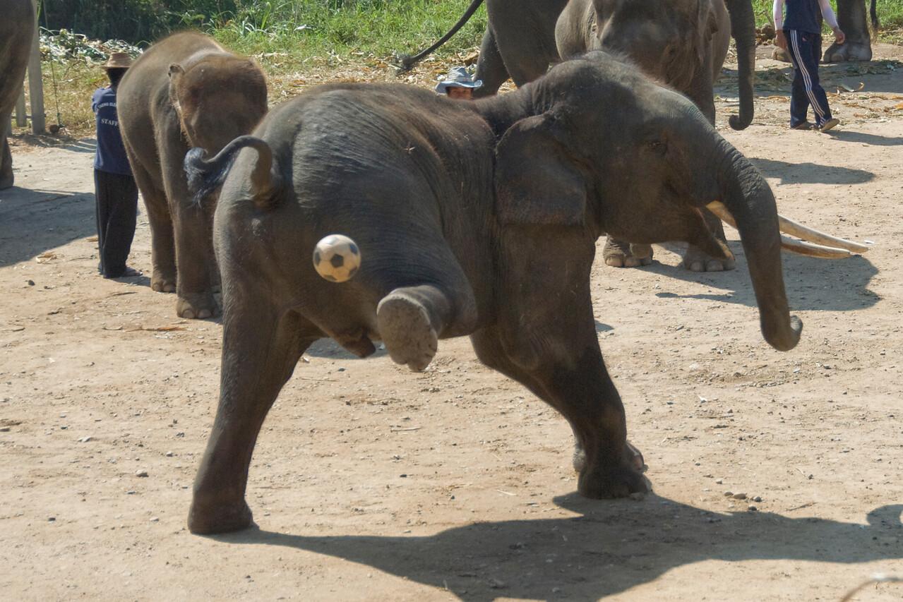 Elephant kicking a soccer ball - Chiang Mai, Thailand