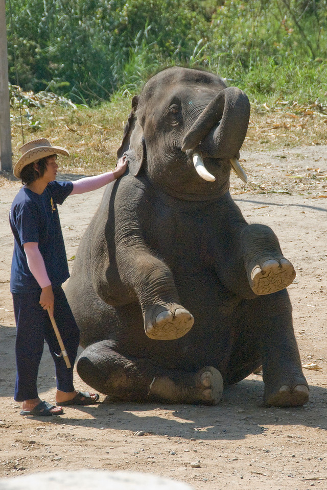 Elephant with trainer in Chiang Mai, Thailand