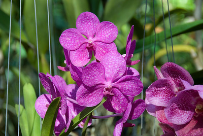 Beautiful orchids in Chiang Mai, Thailand