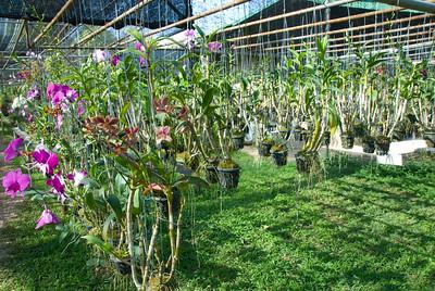Orchid Farm in Chiang Mai, Thailand
