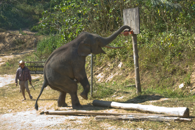 Elephant dunking a basketball to the ring - Chiang Mai, Thailand