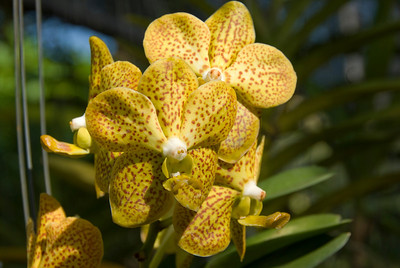 Close-up of yellow orchid in Chiang Mai, Thailand