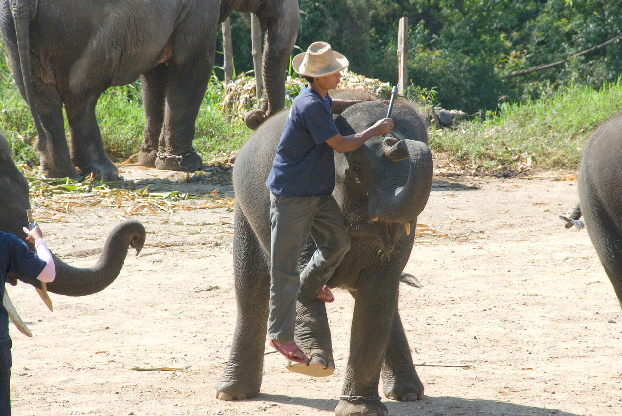 Trainor climbing on elephant during show in Chiang Mai, Thailand