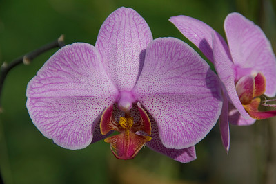 Close-up shot of an orchid in Chiang Mai, Thailand