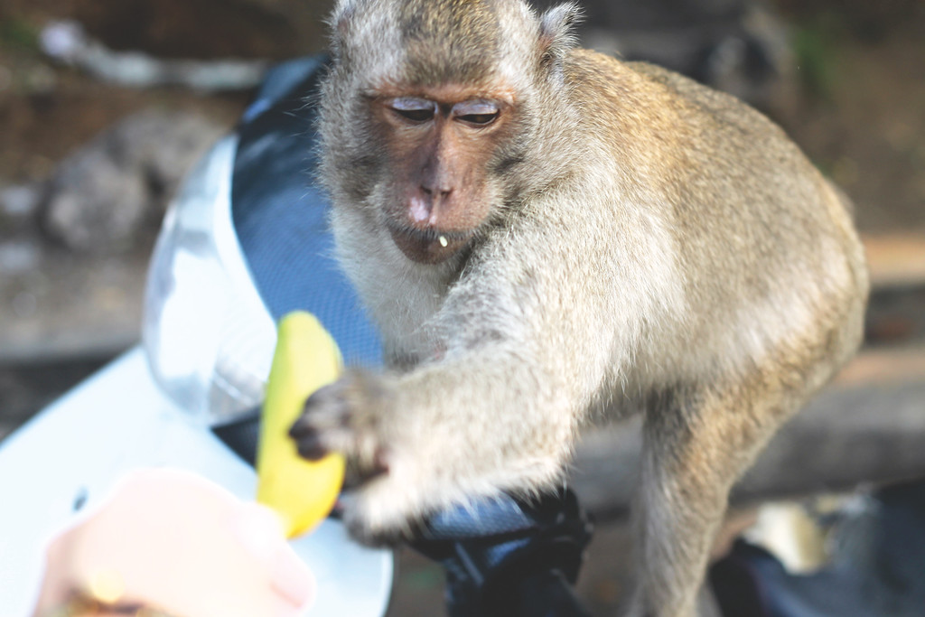 The monkeys can be very aggressive when there is food present. One grabbed the water bottle out of my hand and tried to bite it open. October 2014