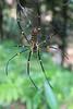 Large Thai Jungle Spider