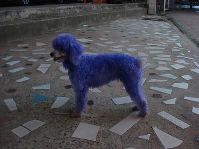 Blue dog, Lamai, Koh Samui - Thailand.