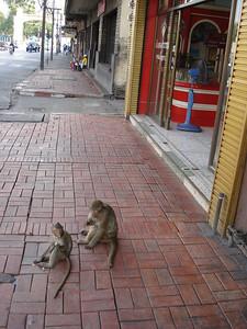 Street monkeys, Lopburi - Thailand.