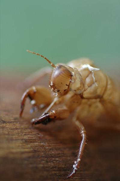 Insect Skin Shell - Ko Lanta, Thailand