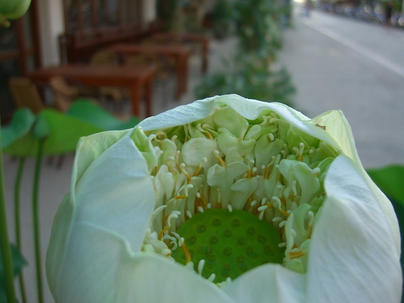 Lotus Flower - Phuket, Thailand