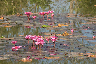 Flowers growing on a pond - Sukhothai, Thailand