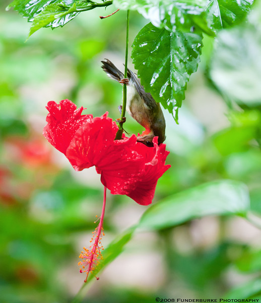 Hummingbird, Ko Phi Phi