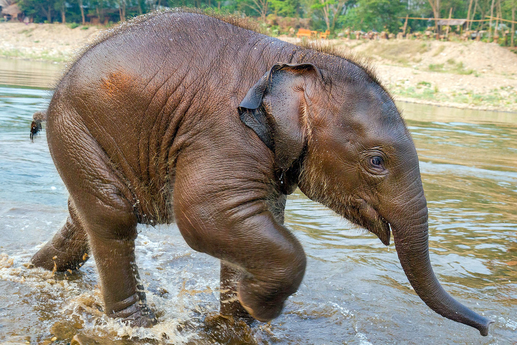 Baby Elephant Playing in River