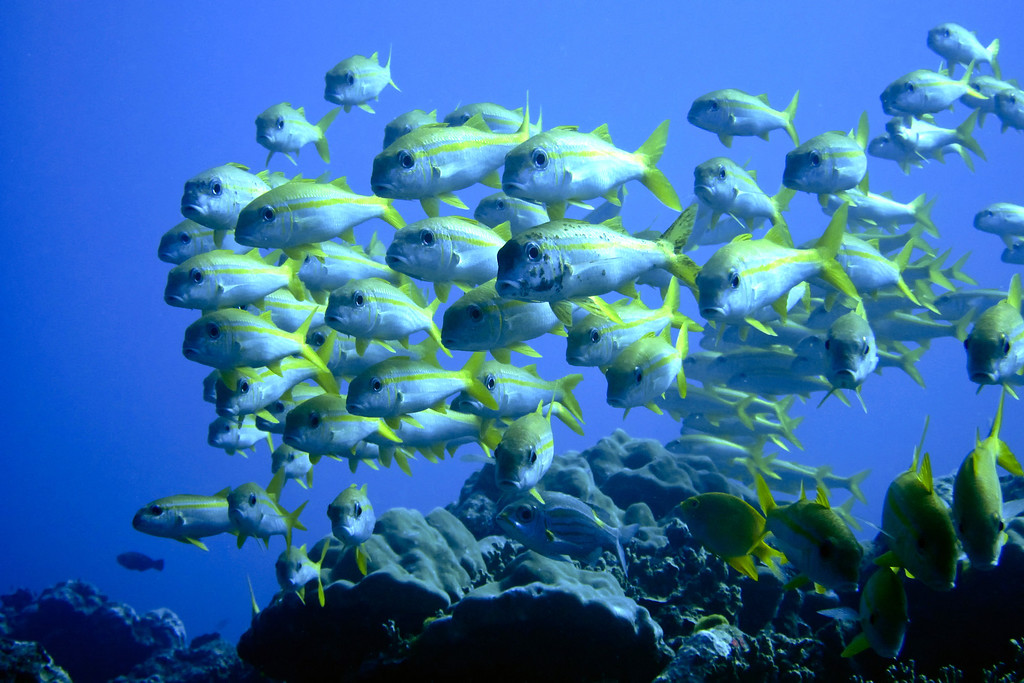 Yellowfin Snappers Similan Thailand