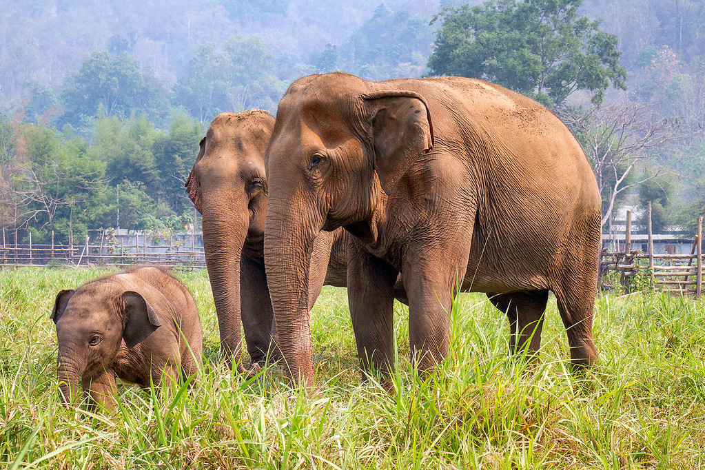 Saving Elephants in Thailand