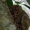 The elusive tarsier