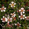 Tb 0380 Cotoneaster microphyllus