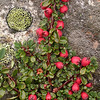 Tb 2400 Cotoneaster microphyllus