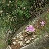 Tu 0013 Colchicum stevenii