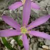 Tu 0024 Colchicum stevenii