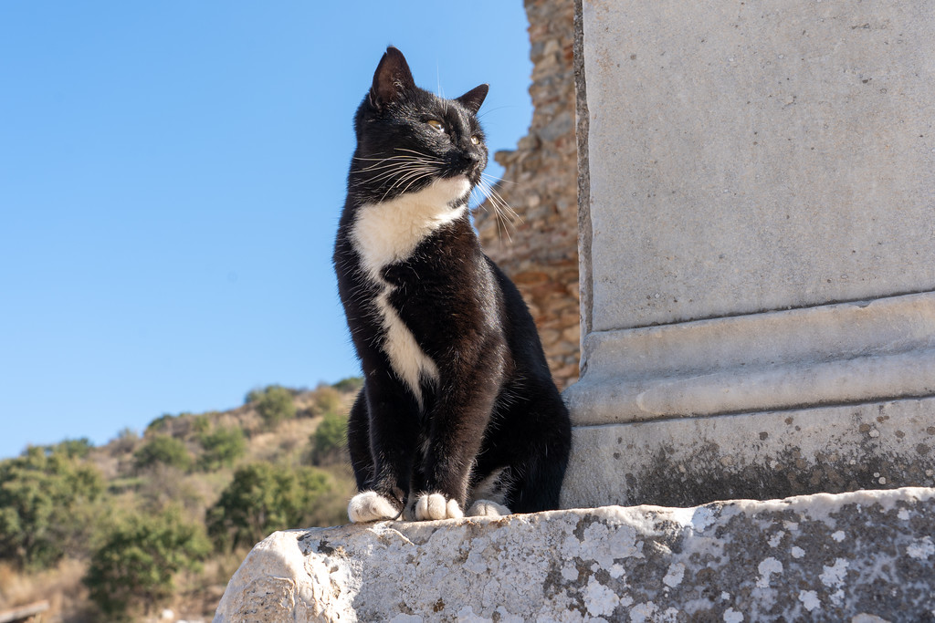 Cat at Ephesus