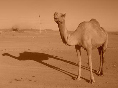 Camel in the Desert - Turkmenbashi, Turkmenistan