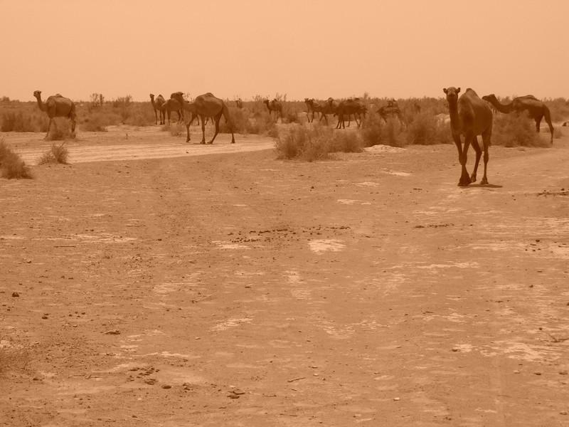 Herd of Camels - Gonur Depe, Turkmenistan