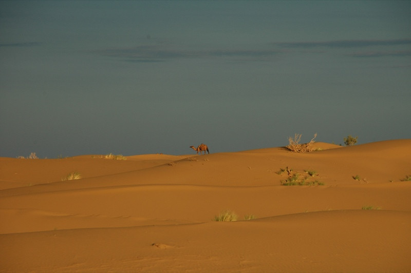 Camel in the Desert - Karakum Desert, Turkmenistan