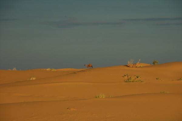 Camel in the Desert - Karakum Desert, Turkmenistan