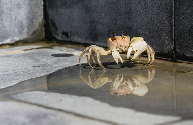 This crab prefers the swimming pool to the beach