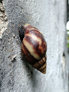 A Vietnamese snail makes its home on the walls of the Hanoi Hilton