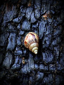 Snail on wet bark