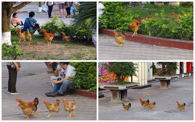 Q: Why did the chickens cross the road?