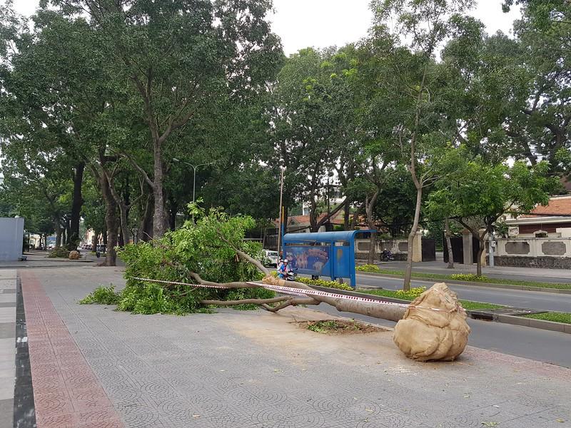 Saving a small tree on Ton Duc Thang