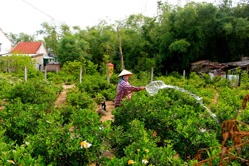 Watering The Citrus Trees