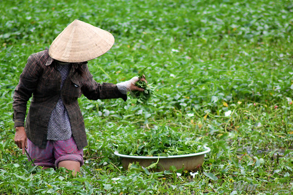 the green fields of Vietnam