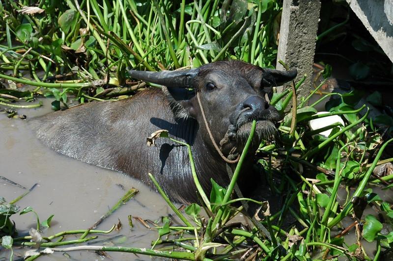 Water Buffalo - Mekong Delta, Vietnam