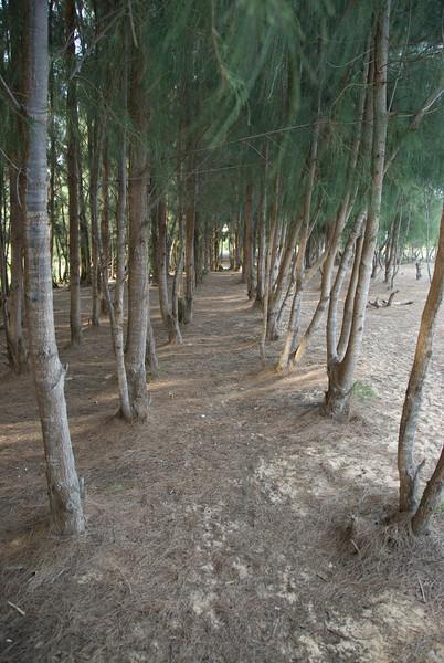 Long path of tree grove in Mui Ne, Vietnam