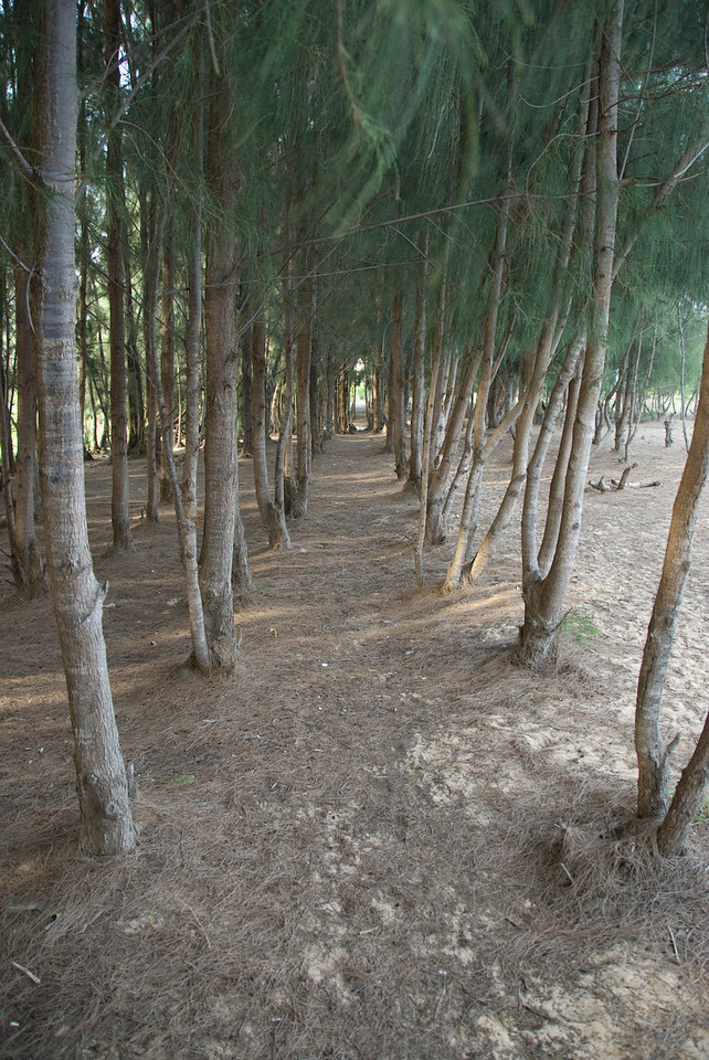 Long path of tree grove in Mui Ne, Vietnam