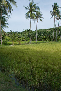 Rice paddy and coconut trees in Mui Ne, Vietnam