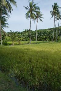 Rice paddy and coconut trees in Mui Ne, Vietnam