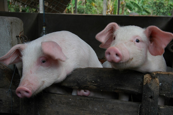 Two Little Piggies - Mekong Delta, Vietnam