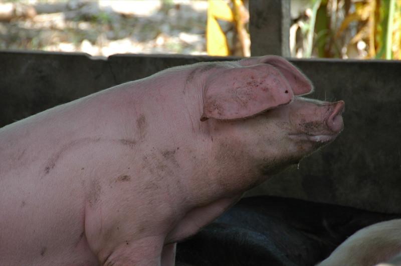 Pig at Attention - Mekong Delta, Vietnam