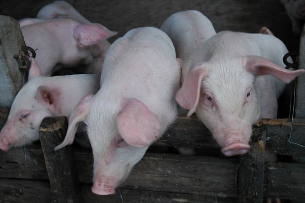 Three Little Pigs - Mekong Delta, Vietnam