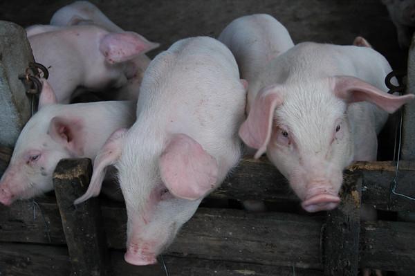 Three Little Pigs - Mekong Delta, Vietnam