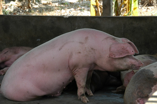 Pig Trying to Stand - Mekong Delta, Vietnam