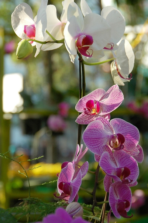 Beautiful Orchids - Ho Chi Minh City, Vietnam